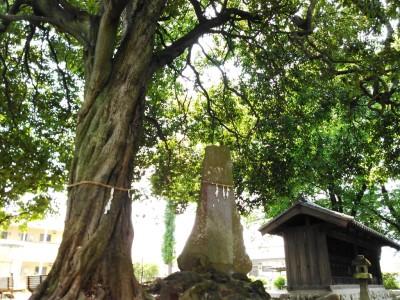 日枝神社御神木