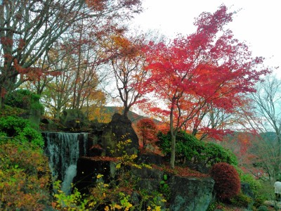 桜山公園のモミジ